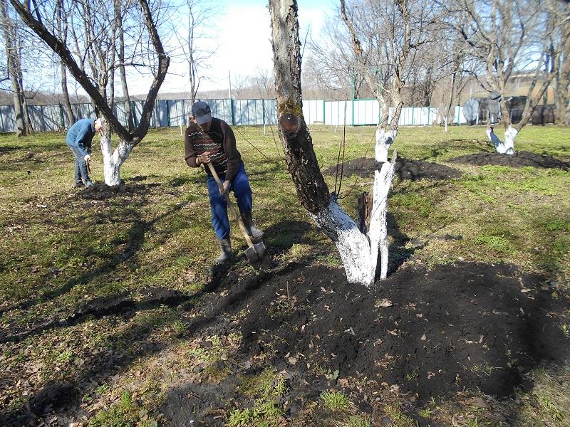 Окапываем деревья в саду